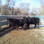My heifers way back on sale day